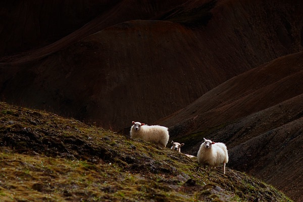 icelandic-sheep